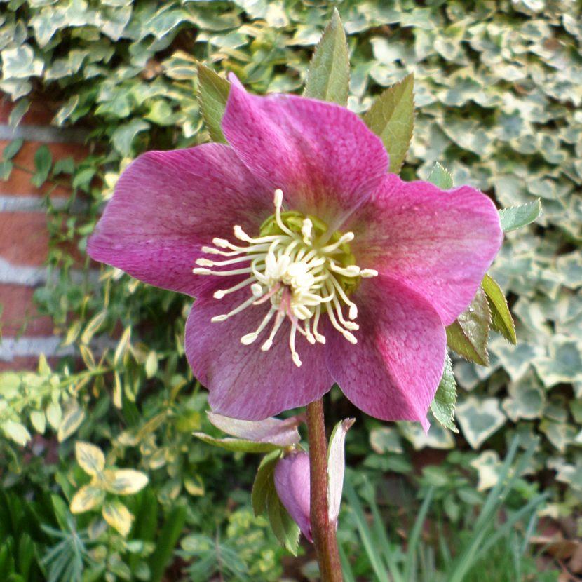 Lenzrose Blüte