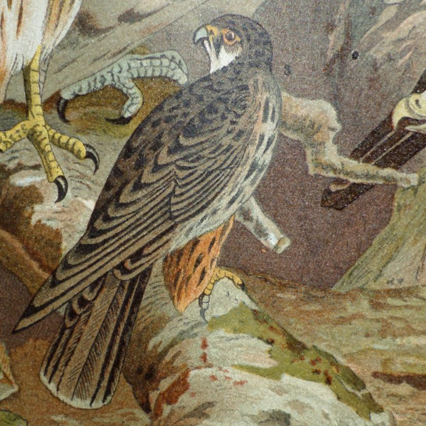 Falke im Lexikon