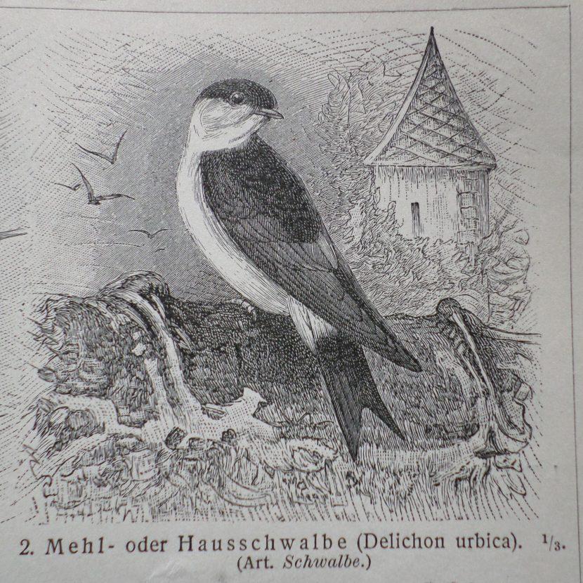Schwalbe im Lexikon