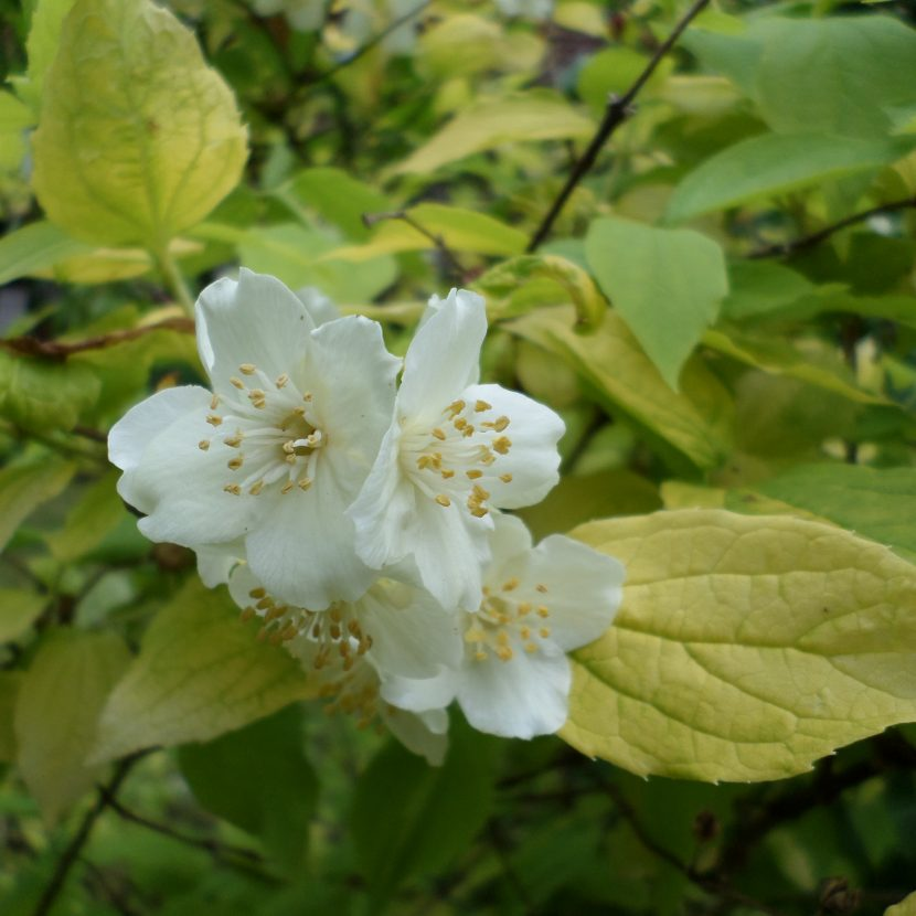Bauernjasmin Blüte