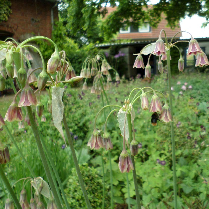 Sizilianischer Honiglauch Blüte