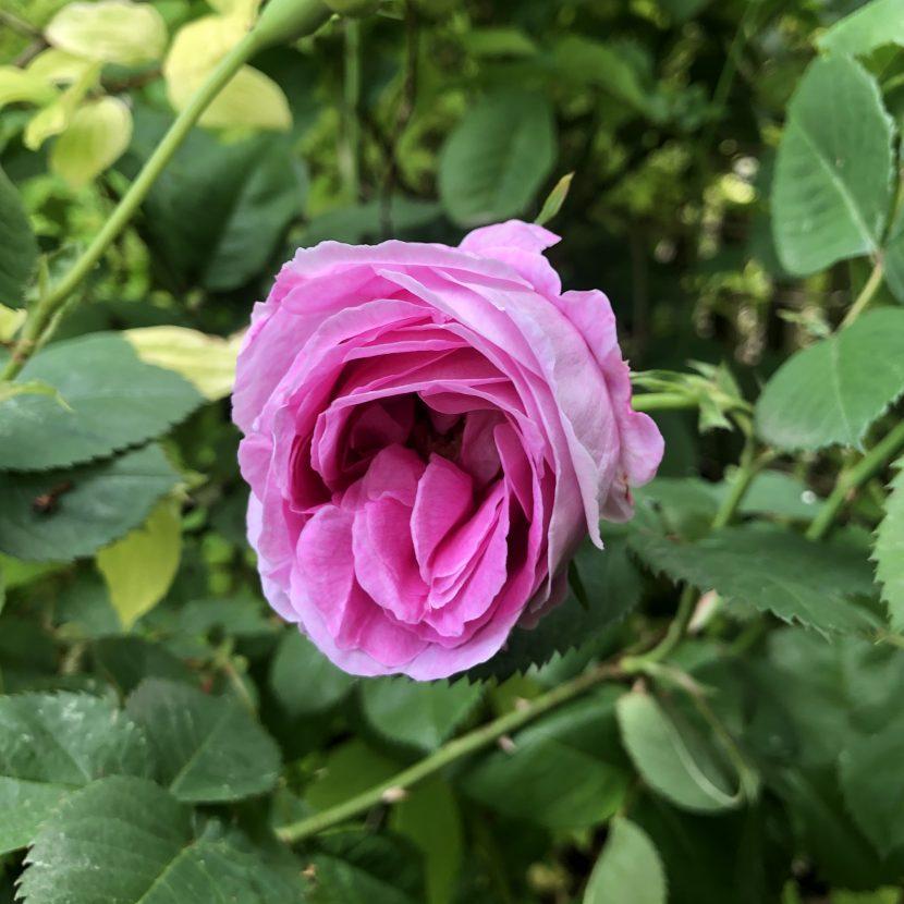 Rose Königin von Dänemark