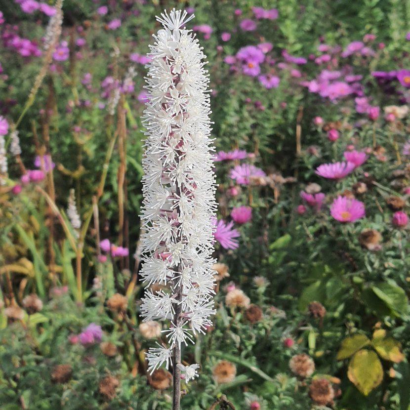 Oktober-Silberkerze Blüte