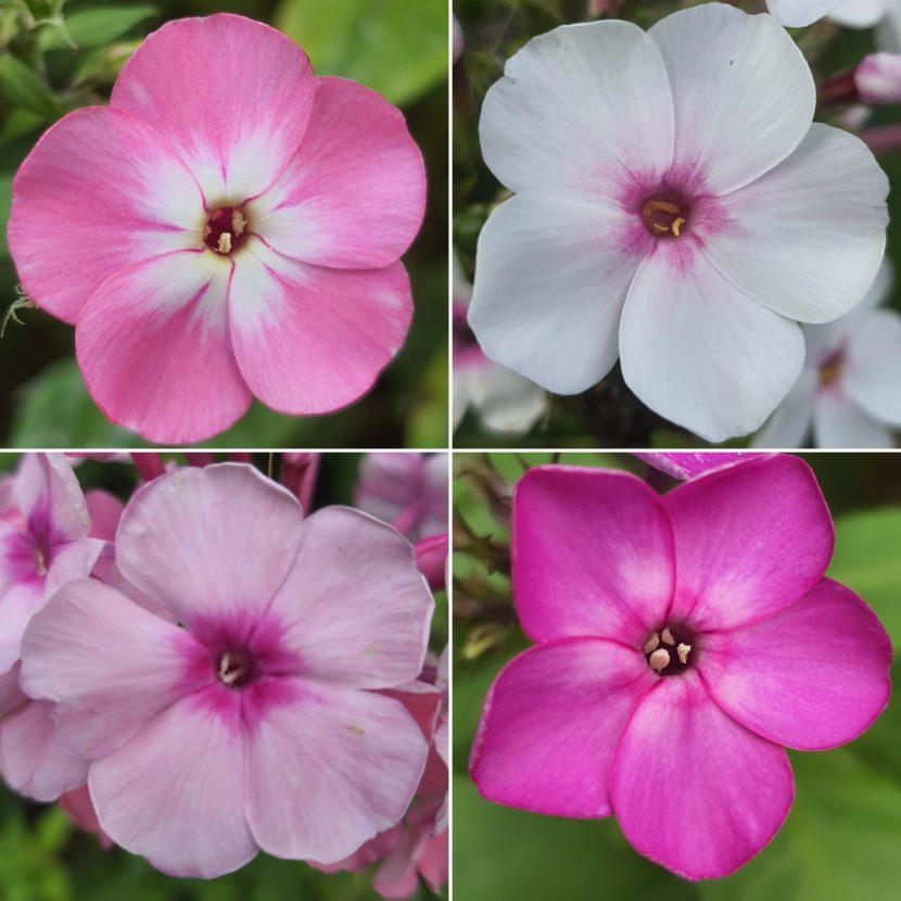 Vier Phlox Blüten