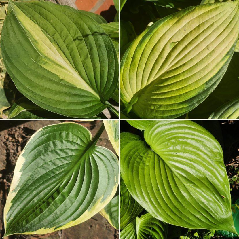Vier Hosta Blätter