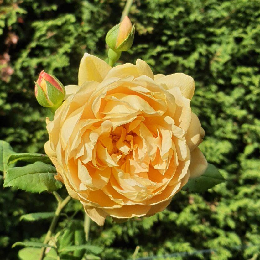 Gelbe Rose im Herbst