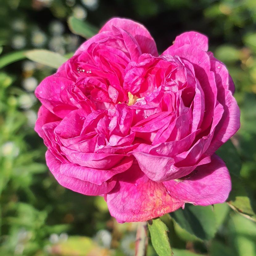 Rose Gerdrude Jekyll