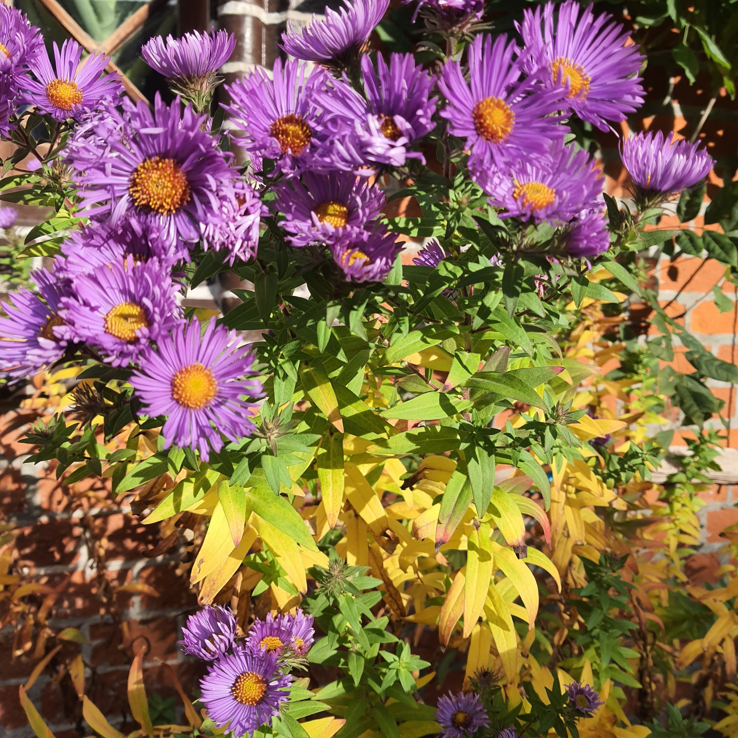 Glattblatt-Aster im Herbst